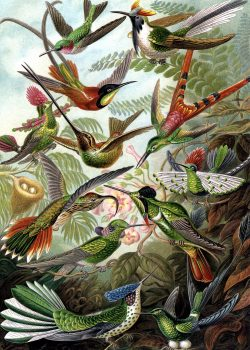 Hummingbirds by Ernest Haeckel wooden jigsaw puzzle
