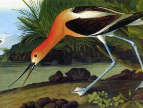American Avocet - Liberty Puzzles - 1