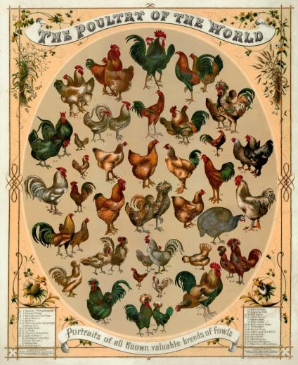 Poultry of the World - Liberty Puzzles - 6