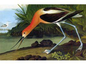 American Avocet - Wooden Jigsaw Puzzle
